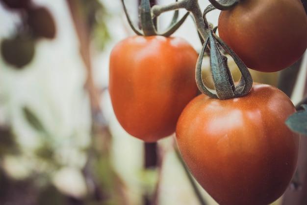 Reife natürliche tomaten wachsen auf einem ast in einem gewächshaus. platz kopieren. reife natürliche tomaten wachsen auf einem ast in einem gewächshaus. platz kopieren.