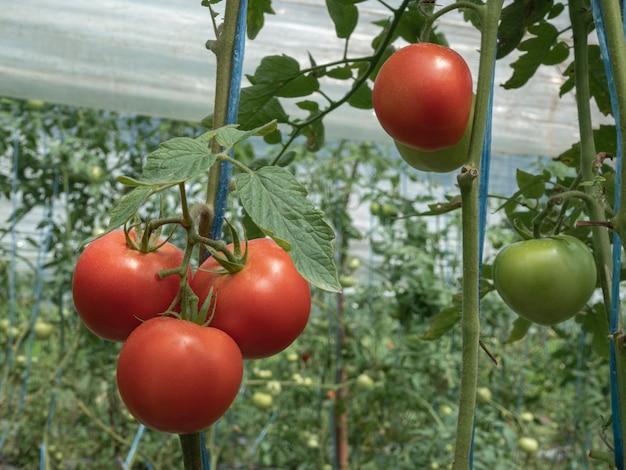 Reife natürliche tomaten wachsen auf einem zweig, wachsen reife tomaten im gewächshaus