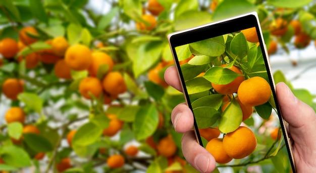 Reife orange mandarinen auf dem smartphone-bildschirm.