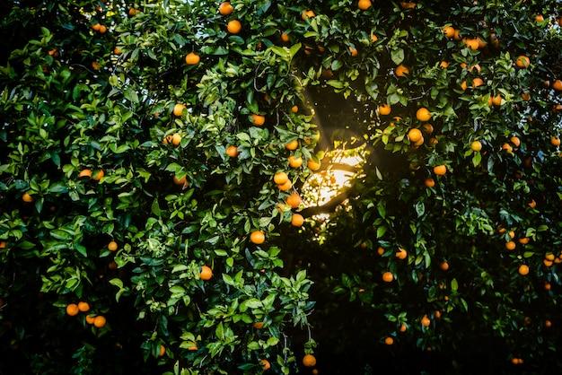 Reife orangen, die in einem mediterranen obstgarten angebaut werden, wachsen gesund von einem valencianischen orangenbaum i