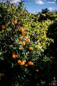 Reife orangen gewachsen in einem mediterranen obstgarten in der sonne, die von einem valencianischen orangenbaum im sommer gesund wächst.