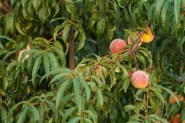 Reife pfirsiche hängen im sommergarten am baum. gesundes und natürliches essen.
