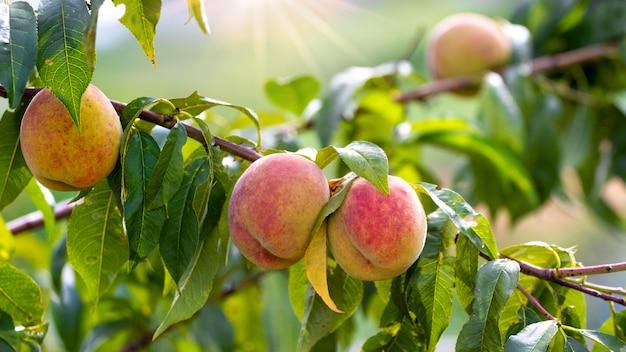 Reife pfirsiche im garten an einem baum bei sonnigem wetter