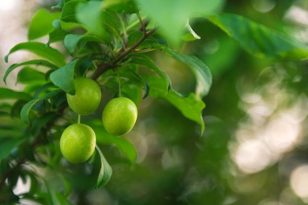 Reife pflaumenfrucht