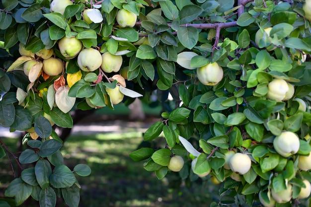 Reife quittenfrucht wächst auf einem quittenbaum mit grünem laub im herbstgarten, nahaufnahme. erntekonzept. vitamine, vegetarismus, früchte. bio-äpfel hängen an einem ast in einem apfelgarten
