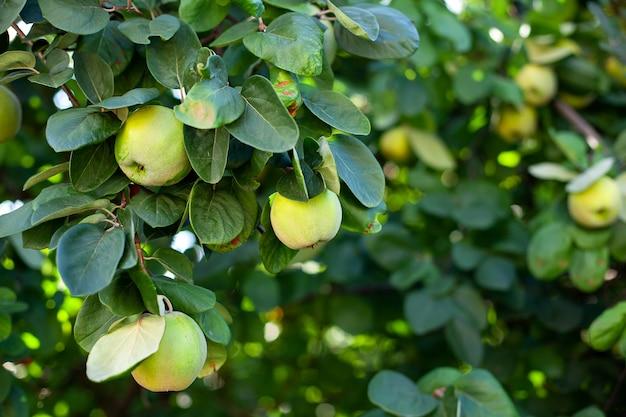 Reife quittenfrüchte. quitte wächst auf einem baum mit grünen blättern im obstgarten im herbst. erntekonzept. vitamine, vegetarismus, früchte. nahansicht. speicherplatz kopieren. reife äpfel am baum. quitte am ast.