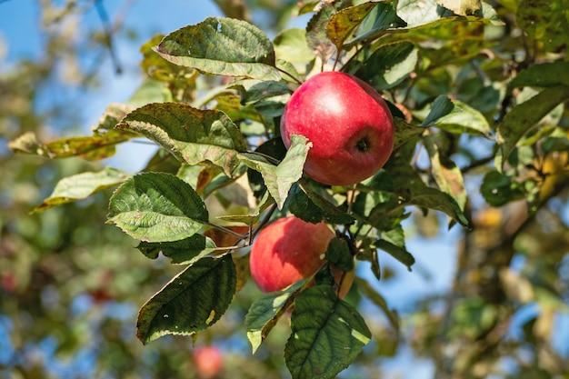 Reife rote äpfel auf einem ast