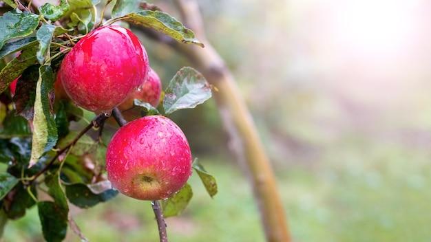 Reife rote äpfel mit regentropfen im garten auf einem baum, kopierraum