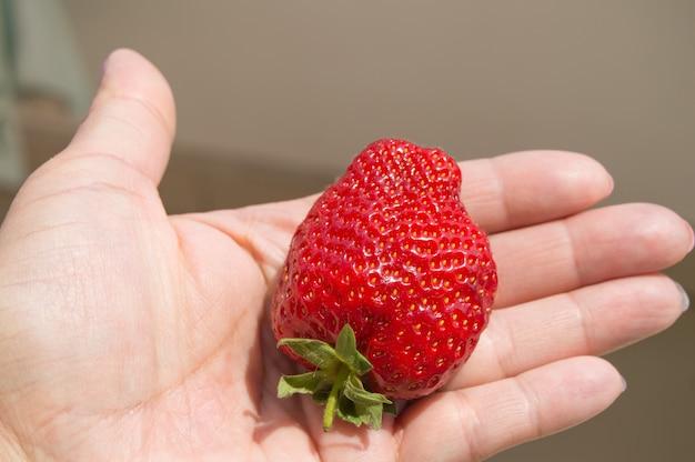 Reife rote frische erdbeere liegt in der handfläche einer frau