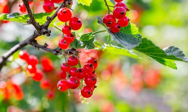 Reife rote johannisbeeren am busch an einem klaren, sonnigen tag