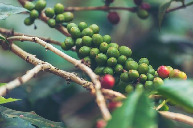 Reife rote kaffeebohnenbeerenpflanze frisches samenkaffeebaumwachstum im grünen öko-bio-bauernhof. nahaufnahme von roten reifen samen robusta arabica beeren ernten für kaffeegarten. frische kaffeebohne grüner blattbusch