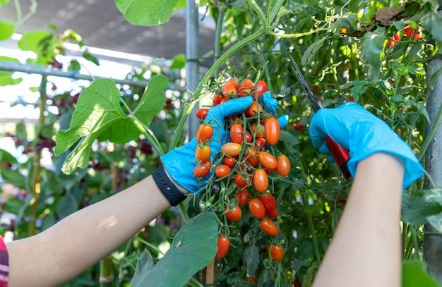 Reife rote organische tomatenernte des landwirts in den händen.