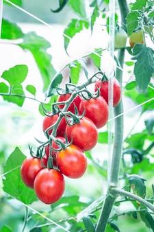 Reife rote tomate bei der gewächshauslandwirtschaft