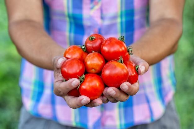Reife rote tomaten vom garten in den händen der landwirtin