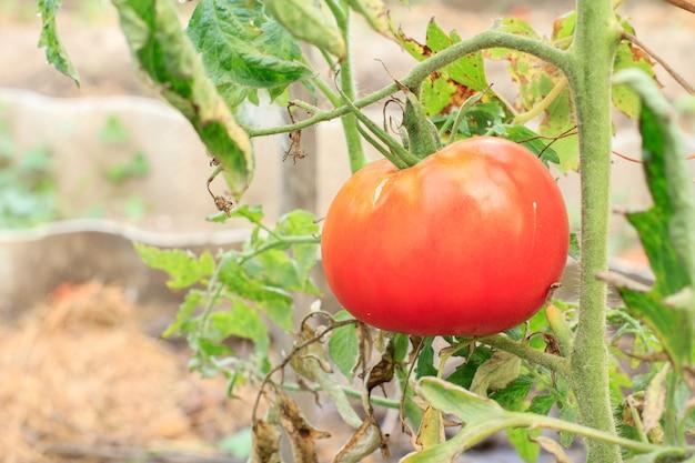 Reife rote tomaten wachsen auf dem gartenbett mit unscharfem hintergrund.
