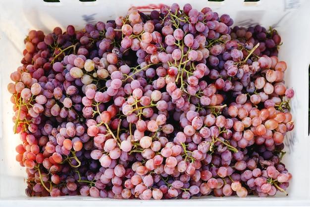Reife rote traube. rosa trauben im karton nach der herbsternte bereit für die weinherstellung oder zum verkauf.