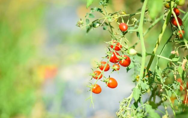 Reife rote und grüne tomate auf rebe im garten bereit zu ernten - organische natürliche landwirtschaft der tomatenpflanze