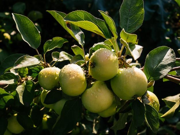 Reife, saftige äpfel hängen an einem ast. äpfel mit regentropfen