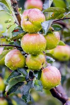 Reife saftige äpfel mit tautropfen in einem garten auf einem ast