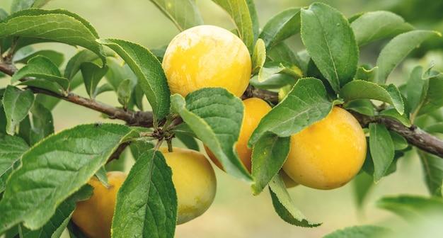 Reife saftige gelbe pflaumen auf einem ast