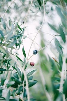 Reife schwarze oliven an den zweigen des baumes