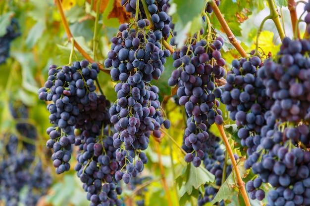 Reife schwarze traubenfruchternte in der natur für lebensmittel und wein im herbst. blaue traube wächst auf wein im weinberg.