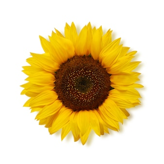 Reife sonnenblume auf einer weißen, draufsicht.