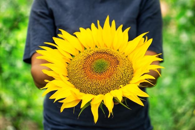 Reife sonnenblume in den händen einer bäuerin
