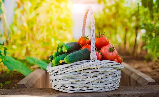 Reife tomaten in einem korb an der wand eines gewächshauses und gartens. reife pflanzen, gartenarbeit, gemüse, freiraum