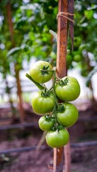 Reife tomatenernte an den büschen im gewächshaus.