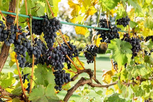 Reife trauben schwarzer trauben am weinstock im freien. herbsttrauben ernten im weinberg für die weinherstellung. cabernet sauvignon, merlot, pinot noir, rebsorte sangiovese. weinbau, konzept der hausgemachten weinbereitung