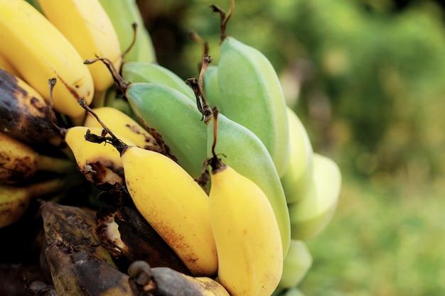 Reife und faule banane im bauernhof mit sonnenlicht.