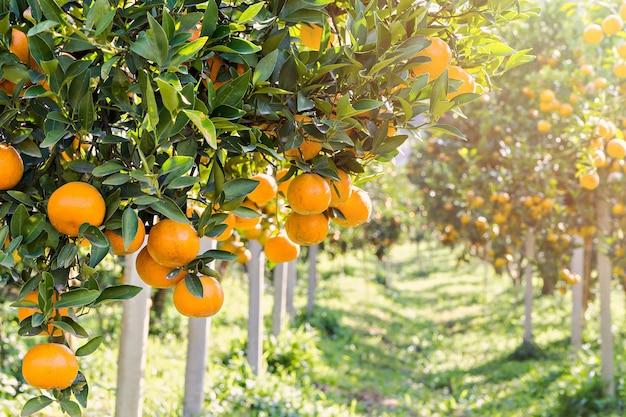 Reife und frische orangen, die an der niederlassung hängen