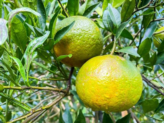 Reife und frische orangen hängen am zweig