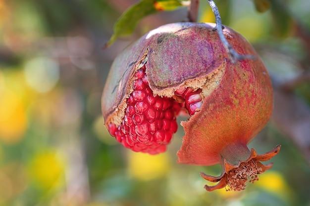Reife und saftige frucht granatapfel hängt an einem baum im garten