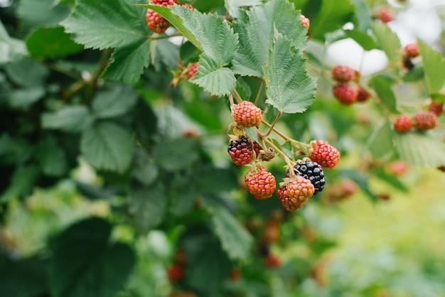 Reife und unreife brombeeren in der sonne wachsen auf einem busch im obstgarten. ein landwirtschaftliches produkt, das ohne düngemittel oder pestizide angebaut wird. selektiver fokus