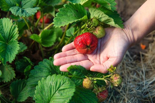Reife und unreife erdbeere, die im garten wächst berry in der hand.