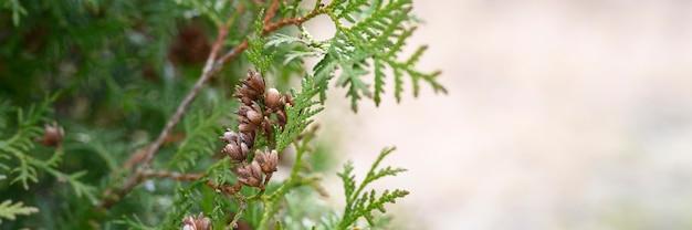 Reife zapfen orientalischen lebensbaum und laub thuja. nahaufnahme der hellgrünen textur von thuja-blättern mit braunen samenkegeln. banner