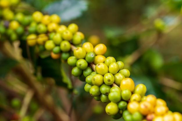 Reifende kaffeebohnen, frischer kaffee, zweig der roten beere