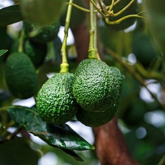 Reifer hass avocados, der am baum hängt