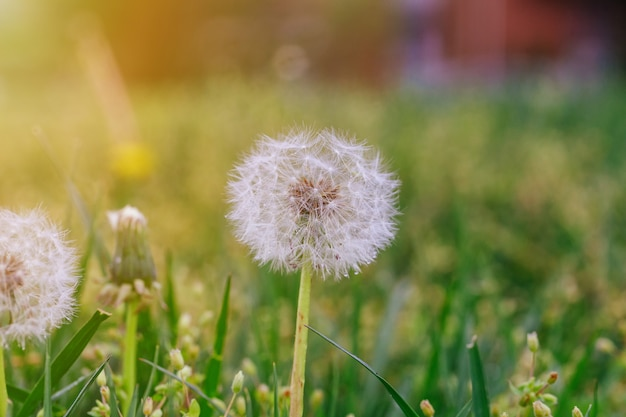 Reifer löwenzahn. frühling hintergrund grünes gras.