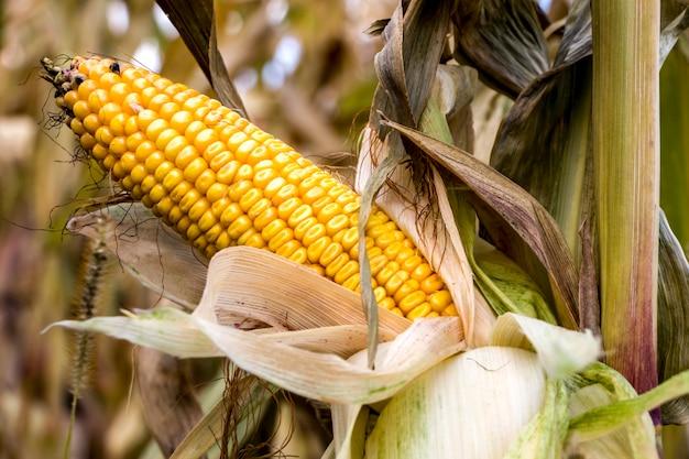 Reifer maiskolben. maisfeld. sommerlandschaft. landwirtschaftskonzept. mais bereit für die ernte.