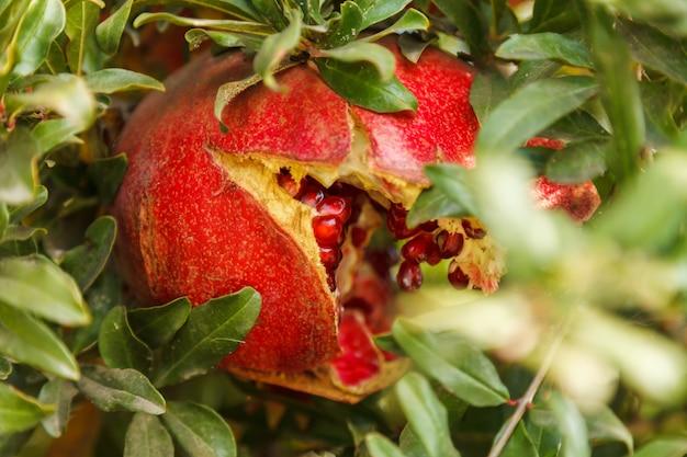 Reifer roter granatapfel auf einem baum im wilden, die türkei