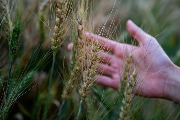 Reifer weizen in den landwirthänden auf den weizenfeldern. landwirthände, die weizenfeld, ernte berühren.