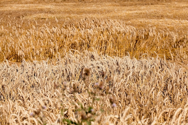 Reifes gelbes getreide - landwirtschaftliches feld, auf dem reifes vergilbtes getreide wächst