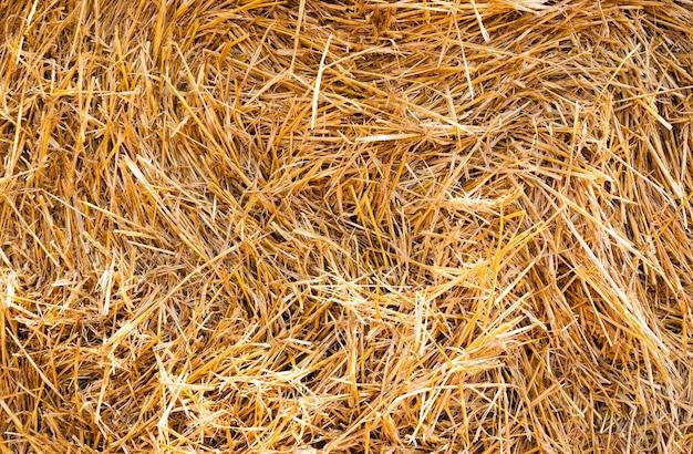 Reifes getreide - landwirtschaftliches feld, auf dem reifes getreide angebaut wird