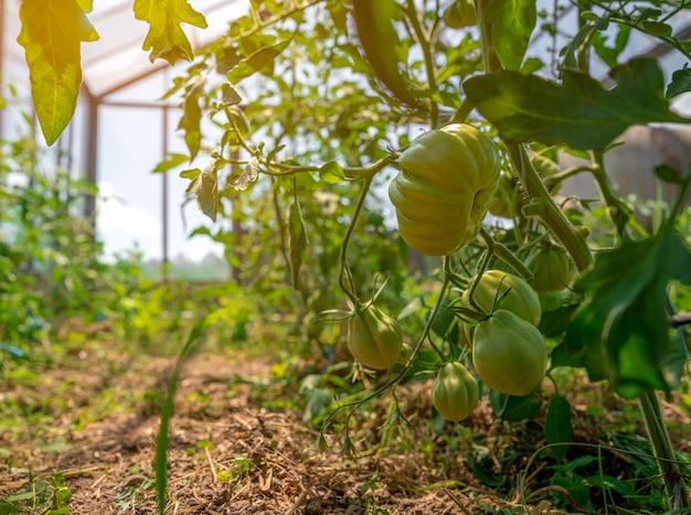 Reifung grüner tomaten in einem gewächshaus auf einem bio-bauernhof. gesundes gemüse voller vitamine