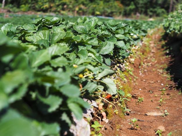 Reihe der erdbeerplantage im grünen bauernhof