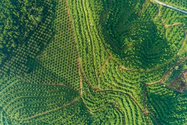 Reihe des palmeplantagegartens auf hohem berg in phangnga thailand