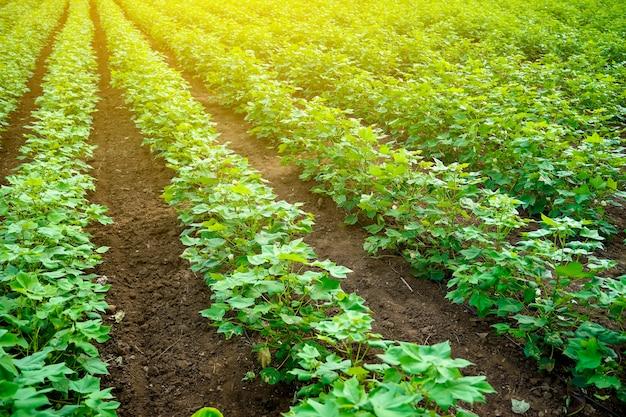 Reihe des wachsenden grünen baumwollfeldes in indien.